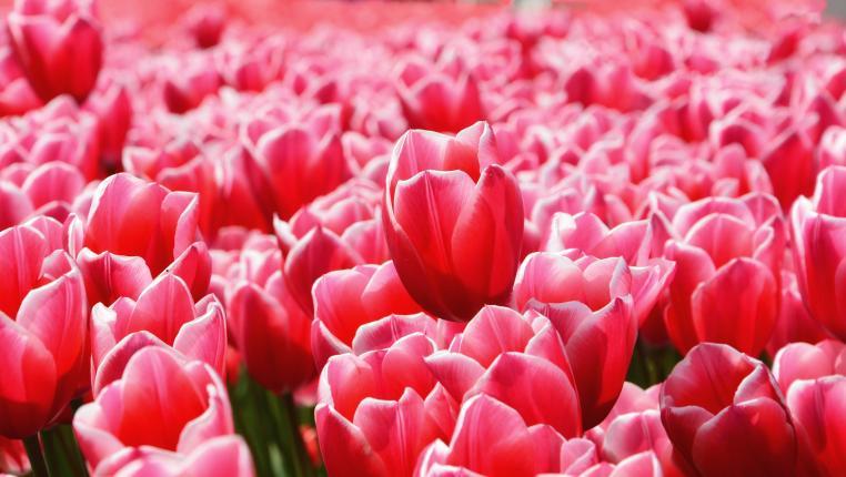 Как продавать тюльпаны на 8 Марта?
